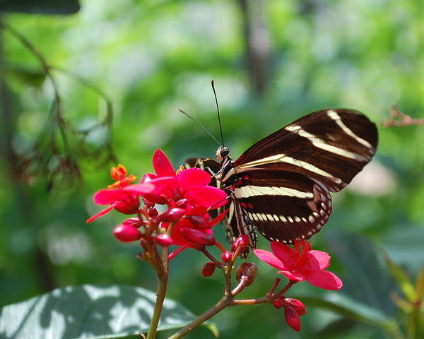 Butterfly Poster featuring the photograph Butterfly Garden by Amanda Lonergan