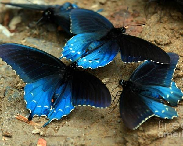 Blue Poster featuring the photograph Butterfly Huddle At The Puddle by Randy Matthews