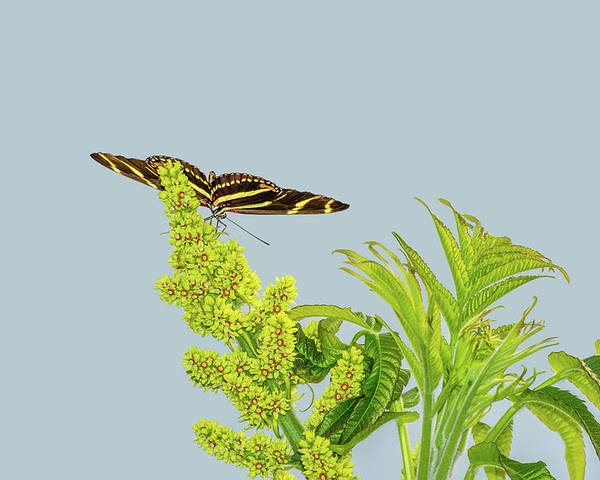 Animal Poster featuring the photograph Butterfly On Flower Cluster by Marv Vandehey
