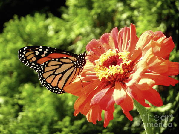 Butterfly Poster featuring the photograph Butterfly On Flower by Samiksa Art