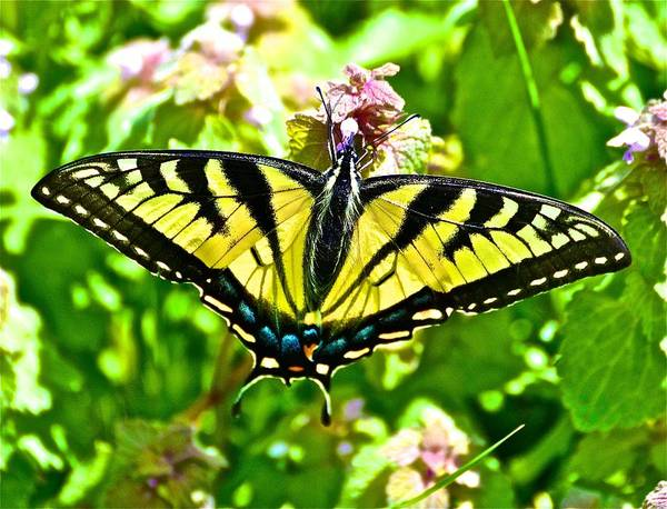 Yellow Butterfly Poster featuring the photograph Butterfly Yellow by Danielle Sigmon