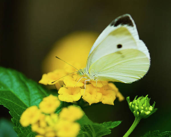 Cabbage White Butterflies Poster featuring the photograph Cabbage White Butterfly by Betty LaRue