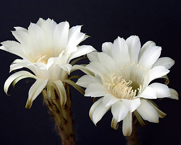 White Poster featuring the photograph Cactus Bloom Duo by Greg Taylor