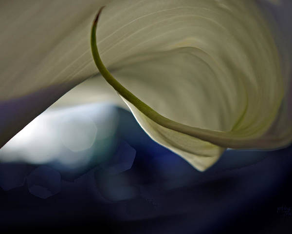 Adria Trail Poster featuring the photograph Cala Lily Curl by Adria Trail