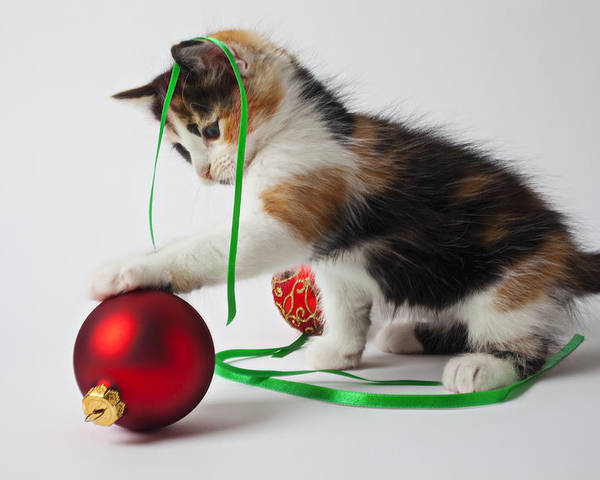 Calico Kitten Christmas Ornaments Poster featuring the photograph Calico Kitten And Christmas Ornaments by Garry Gay