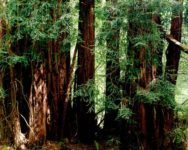 Botany Poster featuring the photograph California Redwoods by Sonja Anderson