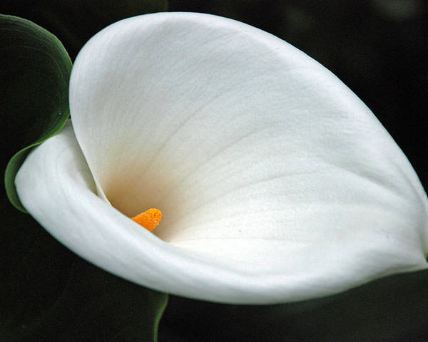 Calla Lilly Poster featuring the photograph Calla Lilly by Carol Eliassen