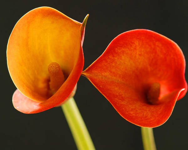 Flower Poster featuring the photograph Calla Lily by Dennis Hammer
