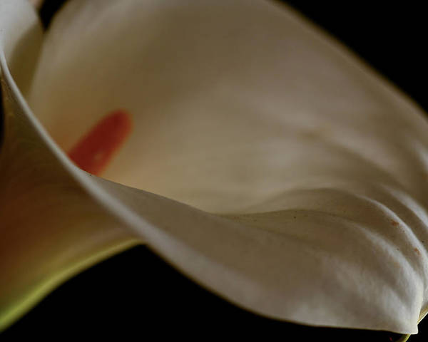Flower Poster featuring the photograph Calla Lily by Thomas Morris