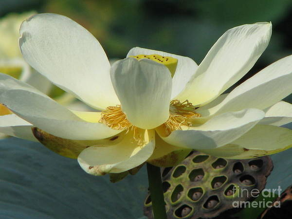 Lotus Poster featuring the photograph Calm by Amanda Barcon