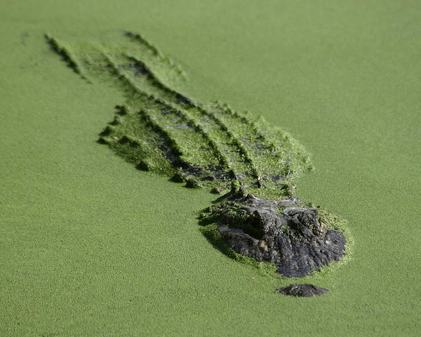 Aligator Poster featuring the photograph Camouflage by Hans Jankowski