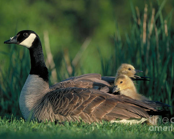 Goose Poster featuring the photograph Canada Goose With Goslings by Alan and Sandy Carey and Photo Researchers