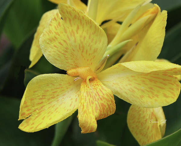 Canna Amarillo Poster featuring the photograph Canna Amarillo IIi by Suzanne Gaff