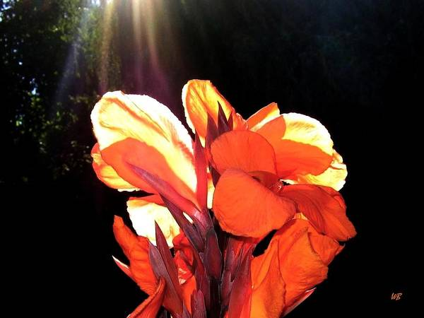 Canna Lily Poster featuring the photograph Canna Lily by Will Borden