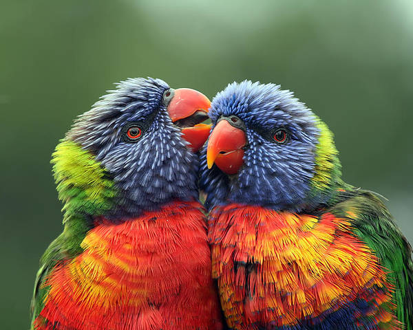 Rainbow Lorikeets Poster featuring the photograph Canoodling In The Rain by Lesley Smitheringale
