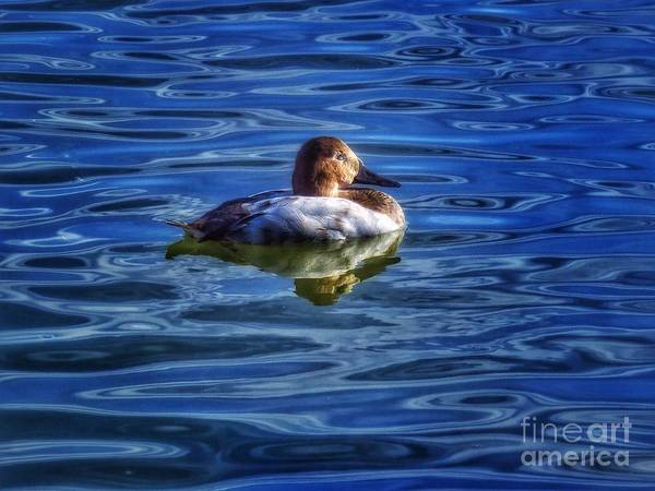 Duck Poster featuring the photograph Canvasback And Blue by Rrrose Pix