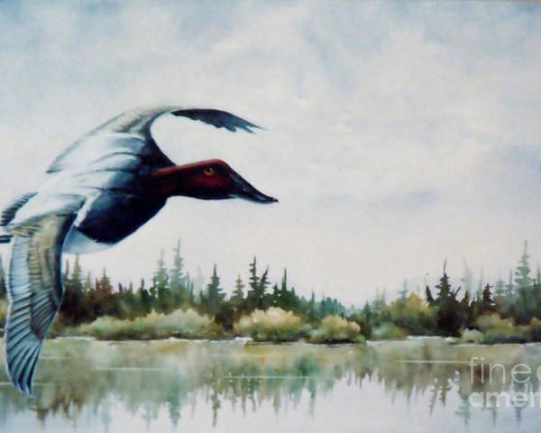 Single Canvasback Over Lake Earl Crescent City Poster featuring the painting Canvasback Over Lake by Lynne Parker