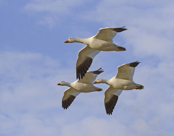 Snow Geese Poster featuring the photograph Captured Flight Of Snow Geese by Allan Levin