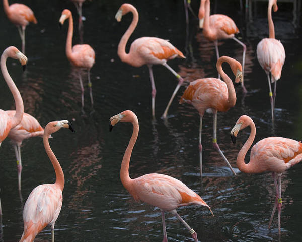 Photography Poster featuring the photograph Caribbean Flamingoes At The Sedgwick by Joel Sartore