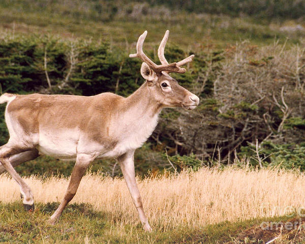Nature Poster featuring the photograph Caribou by Mary Mikawoz