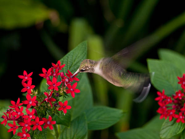 Hummingbird Poster featuring the photograph Carry Out by Don Allen