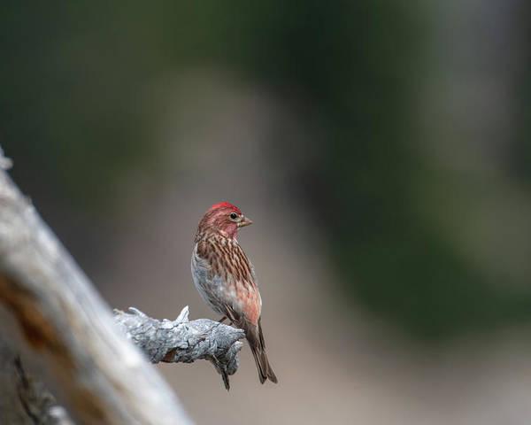 Bird Poster featuring the photograph Cassin's Finch by Ken Dietz