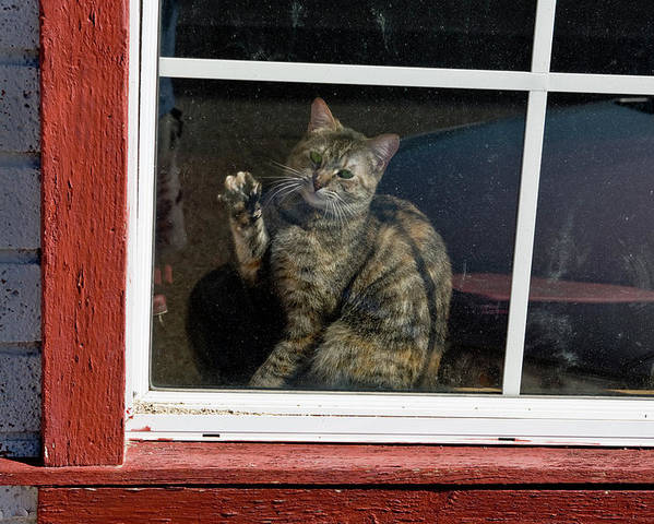 Cat Poster featuring the photograph Cat In The Red Window by Joe Palermo
