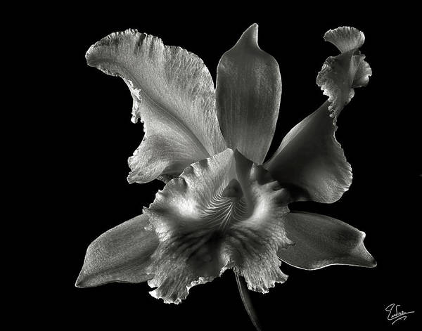 Flower Poster featuring the photograph Catalea Orchid In Black And White by Endre Balogh