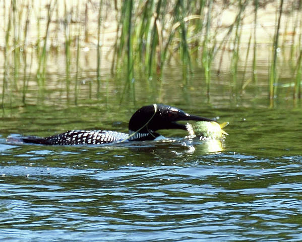 American Loon Poster featuring the photograph Catch of the Day by Sally Sperry