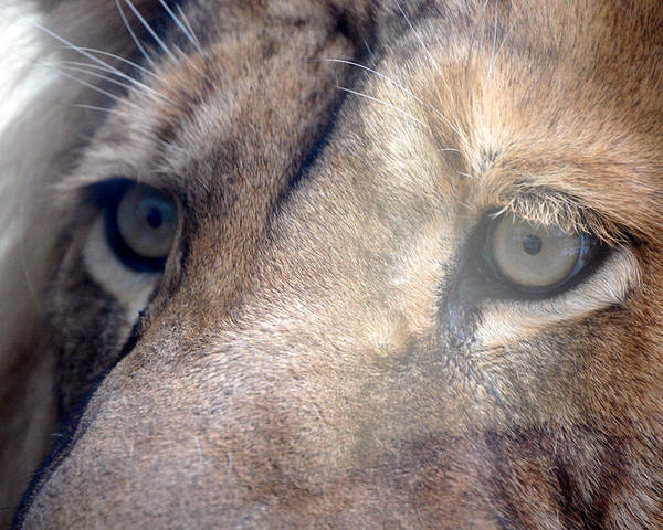 Lion Poster featuring the photograph Cats Eyes by Lisa Kane