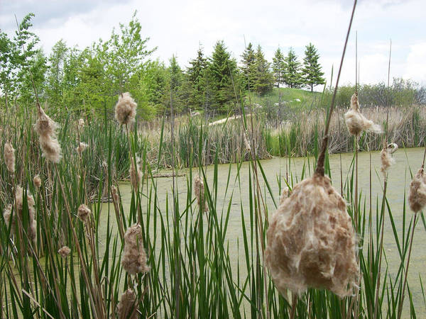 Wetlands Poster featuring the photograph Cattails by Mary Mikawoz