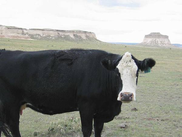 Rural Poster featuring the photograph cattle at Pawnee Butte Colorado by Margaret Fortunato