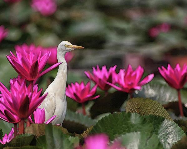 Bird Poster featuring the digital art Cattle Egret amongst Waterlilies by Sandeep Gangadharan