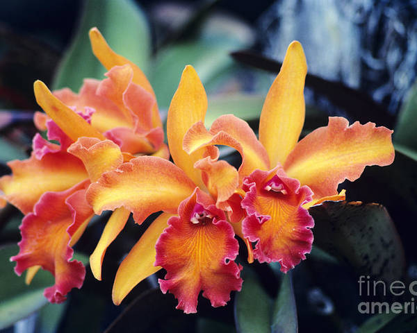Afternoon Poster featuring the photograph Cattleya Orchids by Allan Seiden - Printscapes