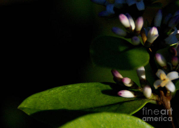 Plant Poster featuring the photograph Caught Between Shadow And Light by Linda Shafer
