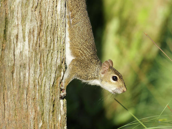 Gray Squirrel Poster featuring the photograph Cautious Critter by Jill Nightingale