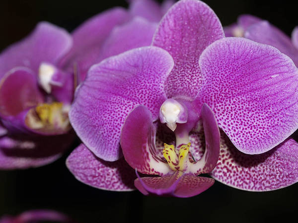 Orchids Poster featuring the photograph Center Of Attention by Joyce Hutchinson