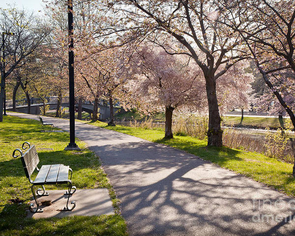 April Poster featuring the photograph Charles River Cherry Trees by Susan Cole Kelly
