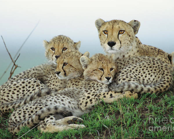 00345011 Poster featuring the photograph Cheetah And Her Cubs by Yva Momatiuk John Eastcott