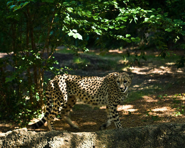 Cheetah Poster featuring the photograph Cheetah On The In The Forest 2 by Douglas Barnett