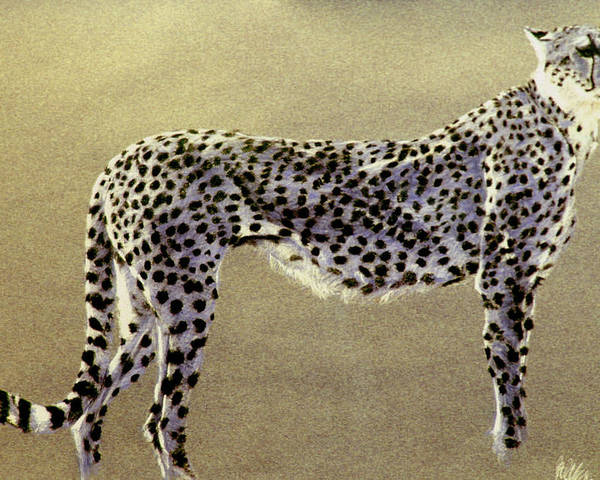 Wildlife Poster featuring the drawing Cheetah by Paul Miller
