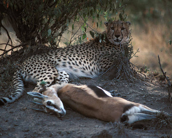Spots Poster featuring the photograph Cheetah With Kill by Carl Purcell