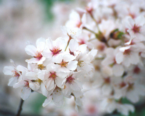 Flowers Poster featuring the photograph Cherry Blossom Close-up No. 6 by Karen Garvin