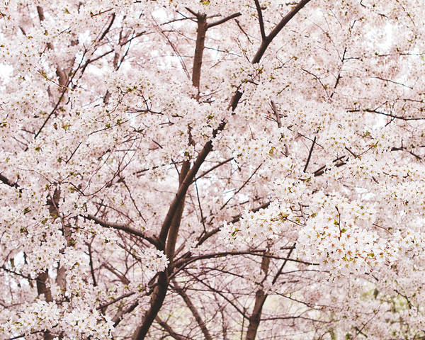 Cherry Blossom Poster featuring the photograph Cherry Blossom Spring by Ariane Moshayedi
