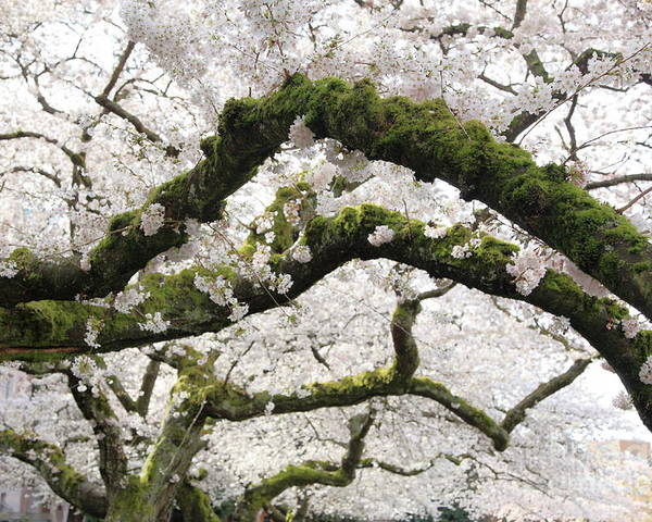 Moss Poster featuring the photograph Cherry Blossoms 104 by Peter Simmons