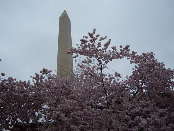 Cherry.blossoms Poster featuring the photograph Cherry Blossoms At The Washington Monument by Tracy Dugas