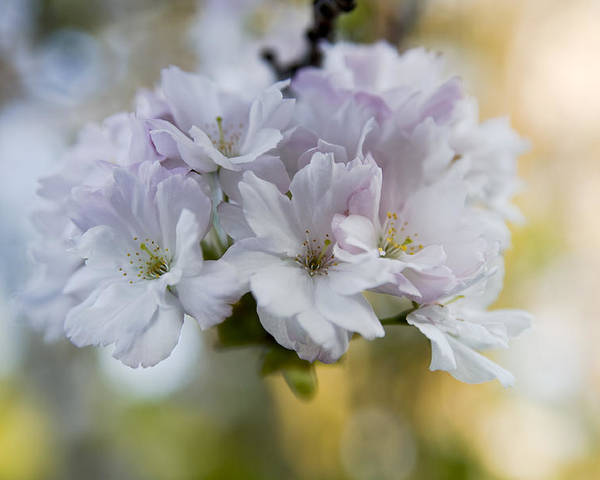 Cherry Blossoms Poster featuring the photograph Cherry Blossoms by Frank Tschakert