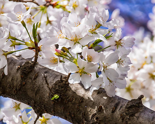 Cherry Blossoms Poster featuring the photograph Cherry Tree by Carol Ward