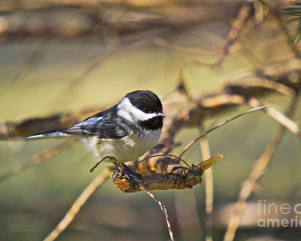 Additional Tags: Poster featuring the photograph Chickadee-11 by Robert Pearson