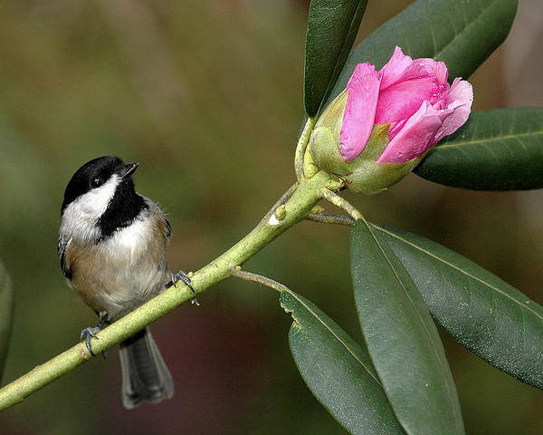 Bird Poster featuring the photograph Chickadee By Rhododendron Bud by Alan Lenk